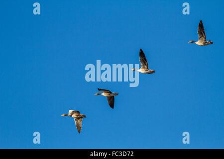 Four greylag geese in flight (Anser anser) over Yorkshire moors, England - Stock Photo