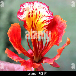 Delonix regia, Gulmohar, Royal Poinciana, deciduous ornamental tree with fern like leaves and red spotted flowers, - Stock Photo