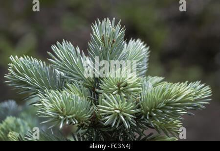 Blue spruce - aubretia - Stock Photo