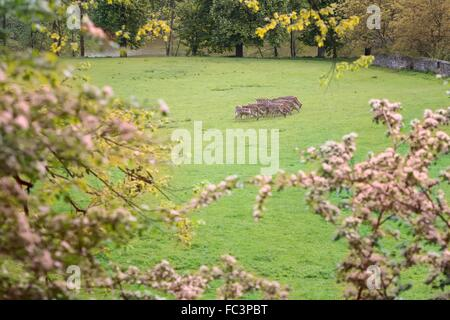 A herd of fallow deer in the woods - Stock Photo