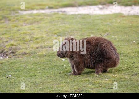 Common Wombat, Vombatus ursinus tasmaniensis - Stock Photo