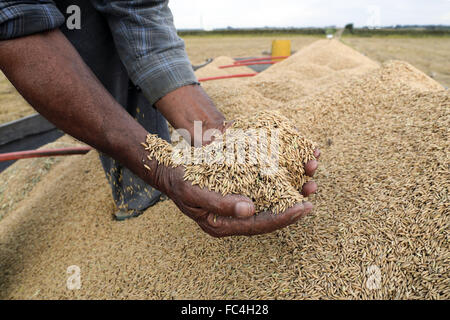 Farmer hands with grains of rice after mechanical harvesting - Stock Photo