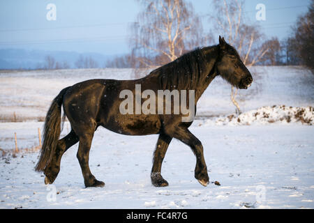 Friesian horse in winter - Stock Photo