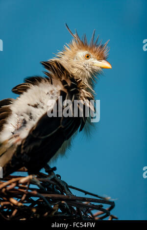 Guira Cuckoo (guira guira) on its twig nest. - Stock Photo