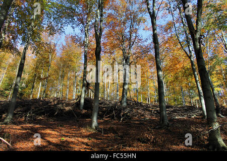 Autumn woodland trees on forestry commission land in the vale of Llangollen - Stock Photo
