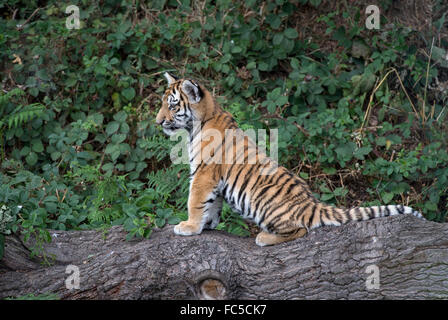 Male Amur tiger cub sitting on tree branch - Stock Photo