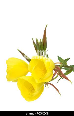 Three evening primrose blooms - Stock Photo