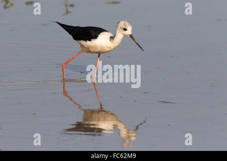 White-headed Stilt (Himantopus himantopus leucocephalus) wading in shallow water - Stock Photo