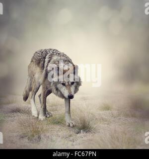 Gray Wolf Walking - Stock Photo