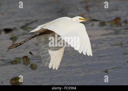 Little Egret (Egretta garzetta) in flight - Stock Photo