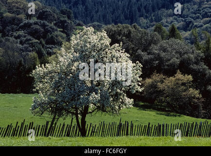 Apple tree malus domestica single blooming tree in a for Domestica in svizzera