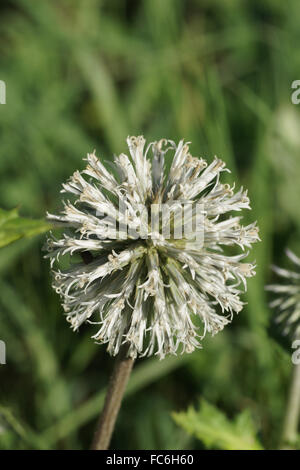 Russian globe thistle - Stock Photo