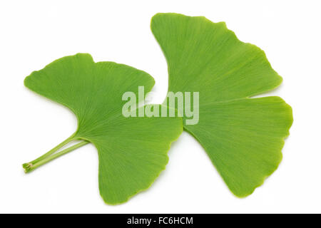 Two ginkgo leaves - Stock Photo