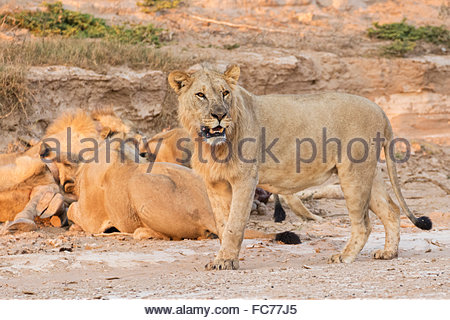 Lions feeding on giraffe carcass - Stock Photo