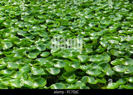 Leaves of the waterlily on water surface - Stock Photo