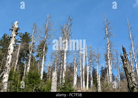 from bark beetle damaged trees - Stock Photo