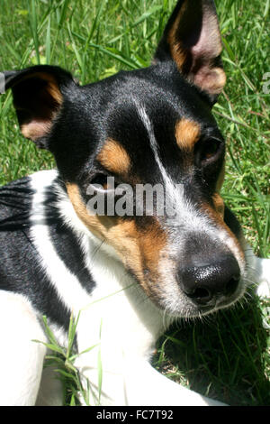 An adorable Jack Terrier Russell makes eye contact. - Stock Photo