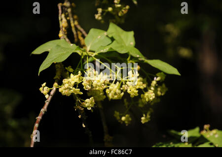 Large-leaved spindle - Stock Photo