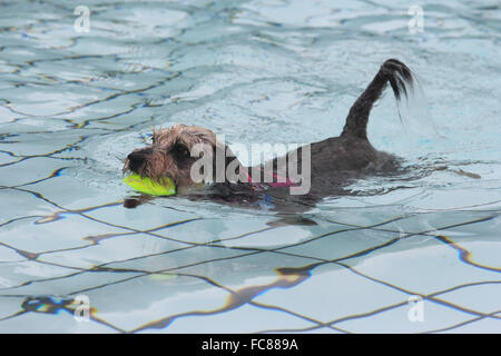 Mixed-breed dog (Yorkshire Terrier x Schnauzer) swimming in a public swimming pool, fetching a ball. Germany - Stock Photo