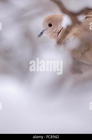 Eurasian Collared-Dove in winter time - Stock Photo