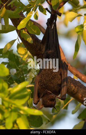 Black Flying-fox (Pteropus alecto) hanging from a branch during daytime - Stock Photo