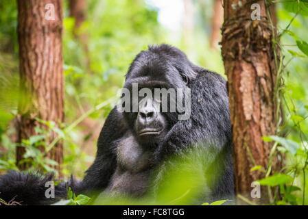 Mountain Gorillas, Bwindi and Virunga mountains, Uganda, Africa - Stock Photo