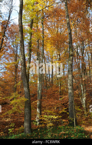Beech and german oak in mixed forest - Stock Photo