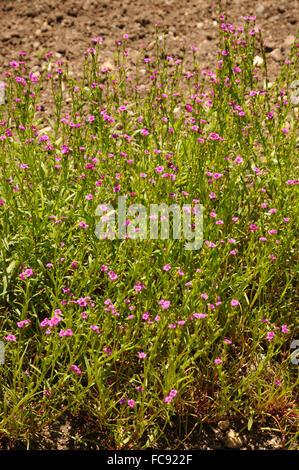 Calandrinia compressa - Stock Photo