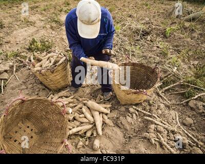 Nong Ya Khao, Nakhon Ratchasima, Thailand. 21st Jan, 2016. Farmers harvest cassava in a field in Nakhon Ratchasima - Stock Photo