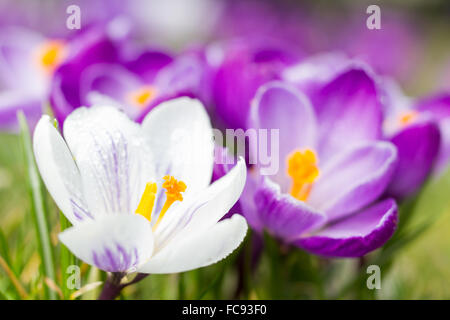 Macro of white and purple crocus in spring - Stock Photo