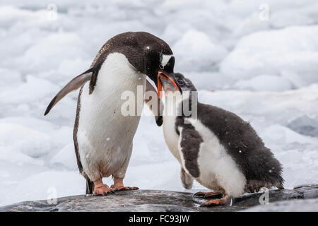 Adult gentoo penguin (Pygoscelis papua) feeding chick at Jougla Point, Wiencke Island, Antarctica, Polar Regions - Stock Photo