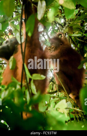 Wild Bornean orangutan (Pongo pygmaeus more) in natural habitat during weaning process. © Reynold Sumayku - Stock Photo