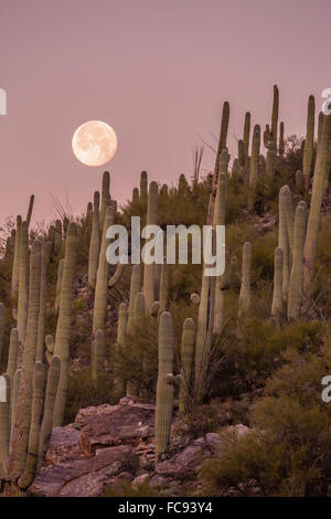Giant saguaro cactus (Carnegiea gigantea), under full moon in the Catalina Mountains, Tucson, Arizona, United States - Stock Photo