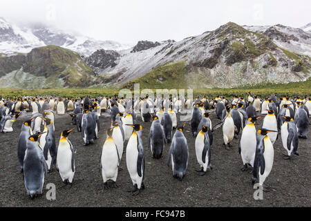 King penguins (Aptenodytes patagonicus), breeding colony at Gold Harbour, South Georgia, Polar Regions - Stock Photo