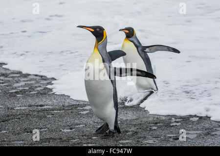 Adult king penguins (Aptenodytes patagonicus) returning from sea at St. Andrews Bay, South Georgia, Polar Regions - Stock Photo
