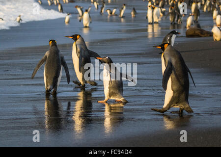 Gentoo penguin (Pygoscelis papua), amongst king penguins on the beach at Gold Harbour, South Georgia, Polar Regions - Stock Photo