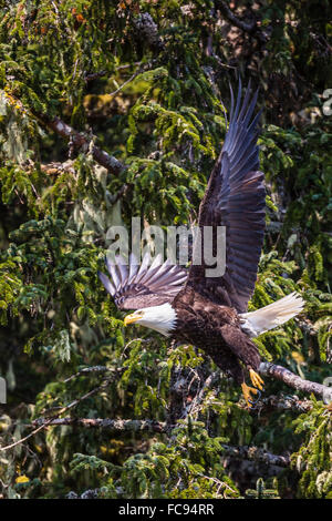 Adult bald eagle (Haliaeetus leucocephalus), Lake Eva, Baranof Island, southeast Alaska, United States of America, - Stock Photo