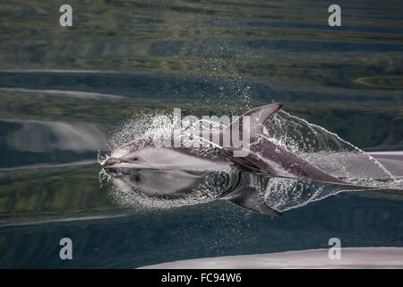 Pacific white-sided dolphin (Lagenorhynchus obliquidens), surfacing in Johnstone Strait, British Columbia, Canada, - Stock Photo
