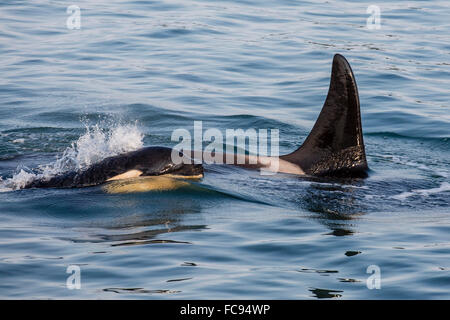 A calf and adult killer whale (Orcinus orca) surfacing in Glacier Bay National Park, Southeast Alaska, United States - Stock Photo