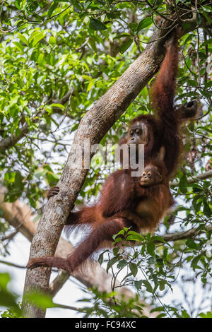 Reintroduced mother and infant orangutan (Pongo pygmaeus) in tree in Tanjung Puting National Park, Borneo, Indonesia - Stock Photo