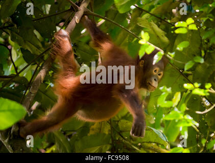 Young bornean orangutan (Pongo pygmaeus morio) in the wild. Kutai National Park, Indonesia. - Stock Photo