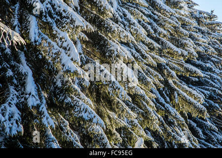 Branches of trees covered with snow after a heavy snowfall, Gerola Valley, Valtellina, Orobie Alps, Lombardy, Italy, - Stock Photo
