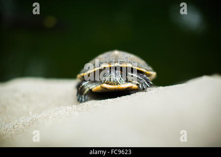 Turtle, Central Park, Hong Kong, China, Asia - Stock Photo