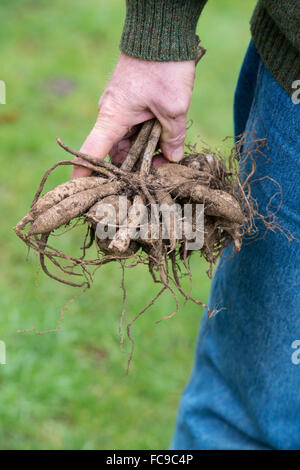 Gardener holding Dahlia flower tubers - Stock Photo