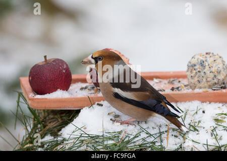 Hawfinch, bird's feeding, Kernbeißer, Kernbeisser, Kirschkernbeißer, Vogelfutter, Vogelfütterung, Coccothraustes coccothraustes