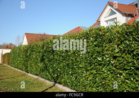 Laurel cherry hedge - Stock Photo