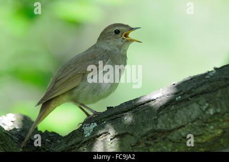 Singing nightingale - Stock Photo
