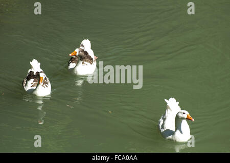 Ducks in the river and reeds - Stock Photo