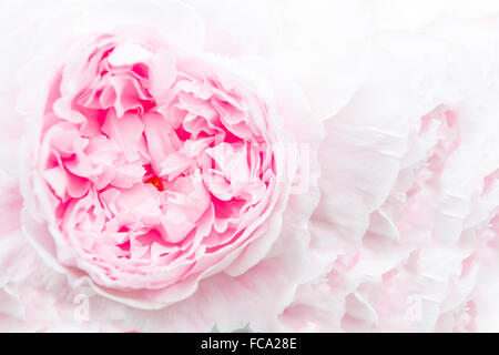 Closeup of a beautiful pink peony on a pink background - Stock Photo