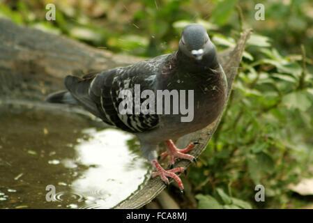 Homing pigeon - Stock Photo